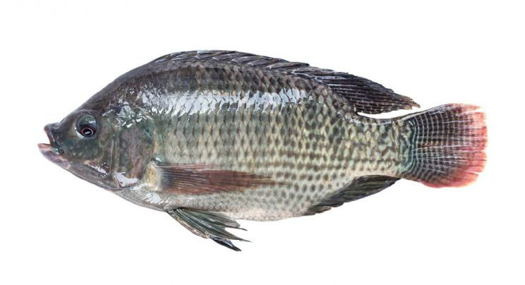 Bulgaria Blue Tilapia Suppliers Wholesale Prices And Market