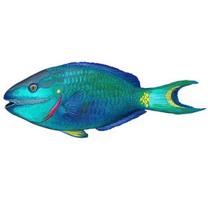 Indonesia gulf parrot fish suppliers wholesale prices for Parrot fish facts