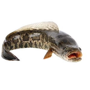 Snakehead Fish suppliers, wholesale prices, and global market information - Tridge