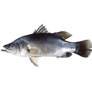 Market intelligence of Nile Perch in the Anguilla
